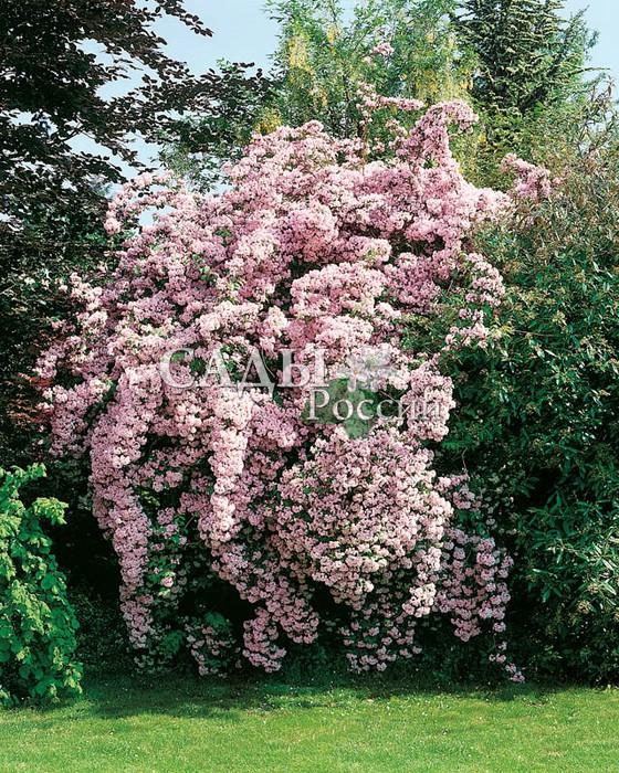 Кольквиция прелестнаяКольквиция<br>Очаровательная нежность и красота этого<br>растения отражена уже в его ботаническом<br>названии amabilis — приятная.<br>