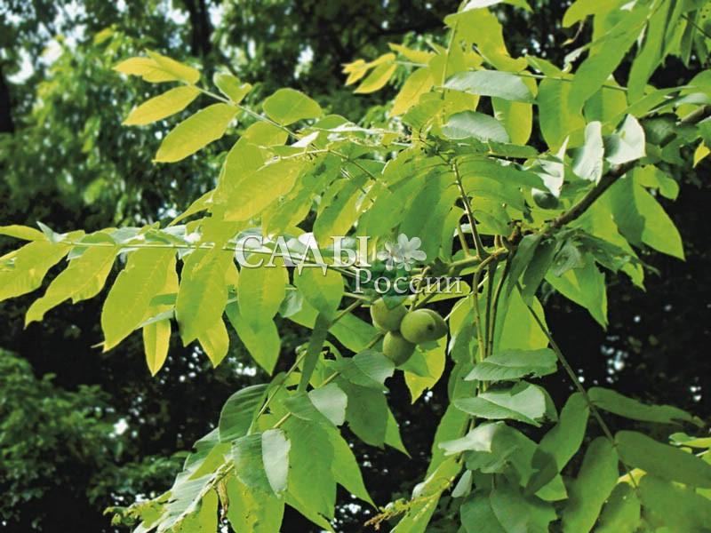 Орех МаньчжурскийОрех маньчжурский<br>Орех маньчжурский, или думбейский, — очень благородное, величественное дерево высотой до 20—25 м<br>и таким же диаметром шатровидной ажурной кроны.<br>