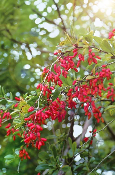 Барбарис обыкновенныйБарбарис обыкновенный<br>Есть в этом растении какая-то загадочная сила привлекательности,<br>завуалированное<br>таинство счастья.<br>