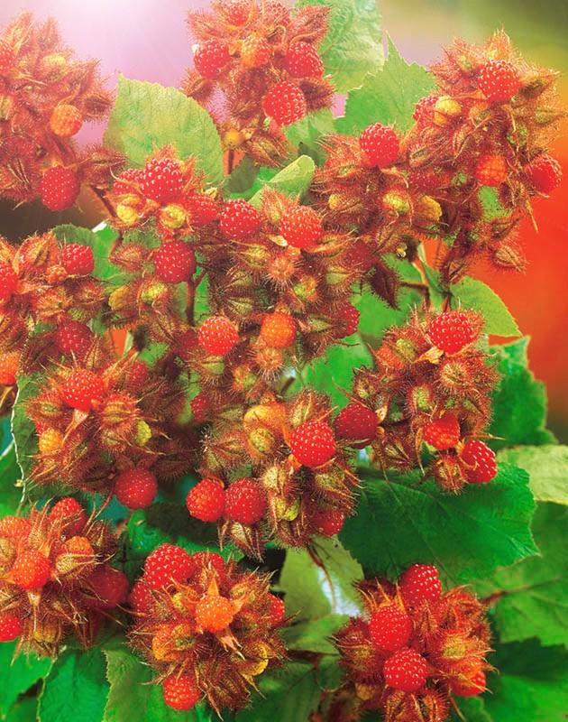 Малина ЯпонскаяМалина японская<br>Сказочно красивое лесное чудо, играющее в солнечных лучах радужным сиянием червонного золота, исходящим от тонких щетинок, плотно укрывающих густооблиственные побеги.<br>