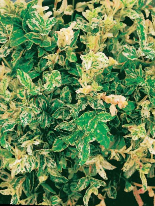 Бересклет Форчуна АрлекинБересклет<br>Выразительный сорт-малыш с эффектными<br>бело-зелёными пёстрыми листьями, усыпанными кремовым и розовым крапом.<br>
