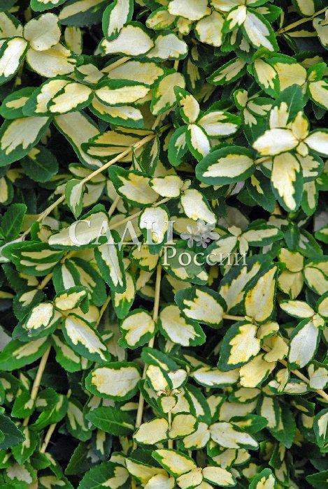 Бересклет Форчуна ИнтербоулиБересклет<br>Очень симпатичный «блондинистый» стелющийся кустарник с желтовато-белым пятном<br>посередине небольших изумрудно-зелёных листьев.<br>