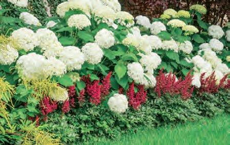 Гортензия древовидная АннабельГортензия древовидная<br>Несравненная, единственная и неповторимая. Потрясающе красивый кустарник, цветущий всё лето, до середины осени.<br>