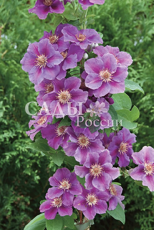Клематисы АшваКлематисы<br>НОВИНКА!   <br> <br>Клематис, который заслуживает видного места,<br>чтобы можно было полностью оценить красоту его<br>цветения.<br>
