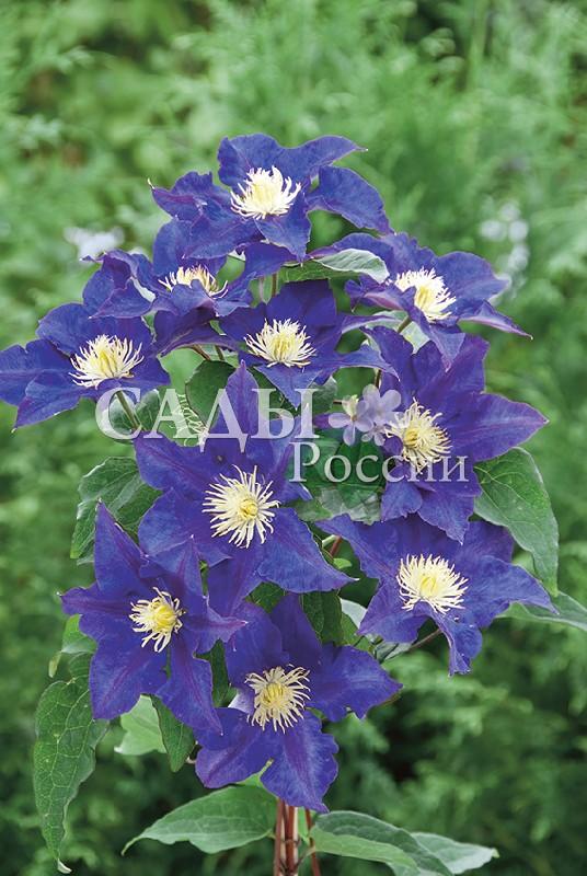 Клематисы КамилаКлематисы<br>НОВИНКА!   <br> <br>Потрясающе яркие и контрастные цветки! Лепестки со слегка волнистыми краями имеют насыщенный<br>фиолетово-голубой цвет, слегка светлеющий к середине.<br>
