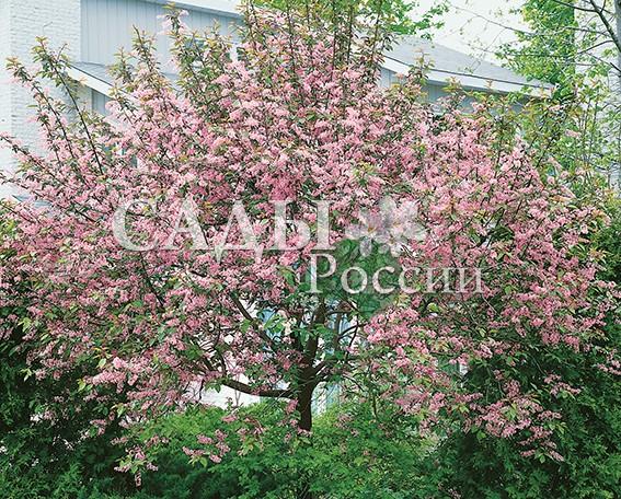 Сакура КолоратаСакура<br>НОВИНКА!  <br><br>Представьте: весна, и цветущая сакура в вашем<br>саду! Всё дерево стоит, покрытое кистями мелких<br>нежно-розовых цветков.<br>