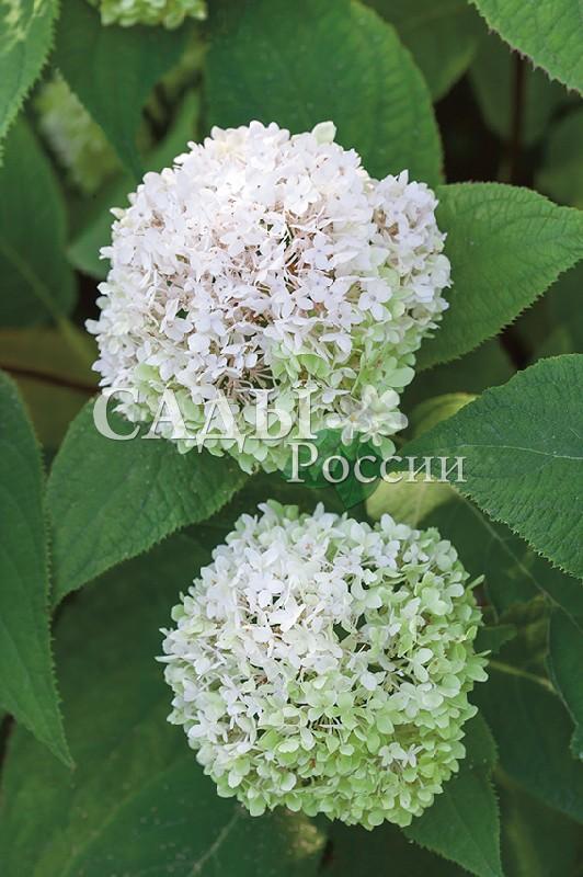 Гортензия древовидная СтерилисГортензия древовидная<br>НОВИНКА!  <br><br>Один из самых декоративных сортов древовидной<br>гортензии. Очень долго и очень обильно цветёт.<br>