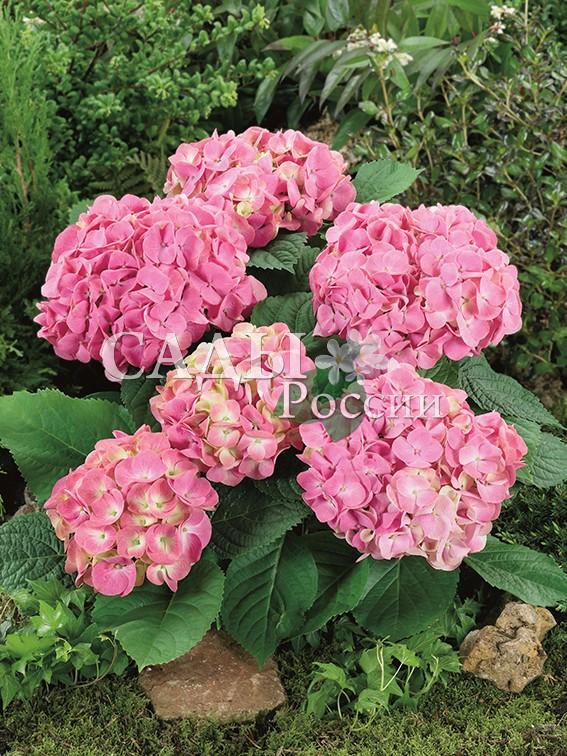 Гортензия крупнолистная РадостьГортензия крупнолистная<br>НОВИНКА!  <br><br> <br>Многочисленные ярко-розовые с беловато-зелёной серёдкой цветы расположены так плотно, что<br>образуют шар диаметром 12-17 см.<br>