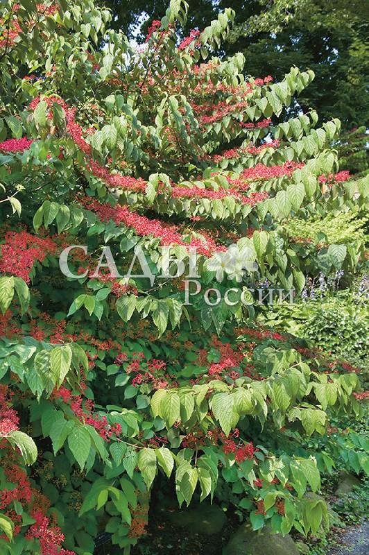 Калина ЛанартКалина<br>НОВИНКА!  <br><br> <br>Эта калина отличается редкой формой кроны и<br>замечательной осенней окраской листьев.<br>