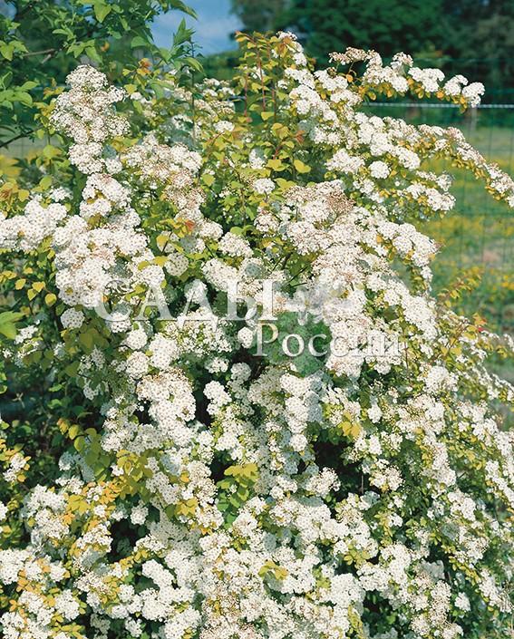 Спирея Золотой фонтанСпирея вангутта<br>НОВИНКА!  <br><br>Обладает всеми качествами идеального садового<br>растения. Исключительно красивая листва жёлтого цвета.<br>