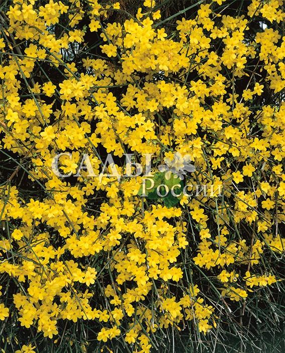 Жасмин голоцветковыйЖасмин<br>НОВИНКА!  <br><br>Замечательное растение, радующее цветением в<br>феврале-марте. Недаром его второе название «жасмин зимний».<br>
