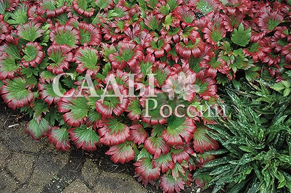 Мукдения КарасубаМукдения<br>НОВИНКА!   <br> <br>Всегда красивое и яркое благодаря расцветке<br>и форме листьев невысокое растение.<br>