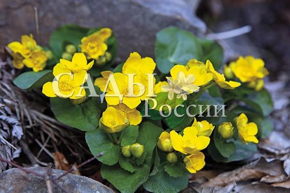 Калужница леснаяКалужница<br>НОВИНКА!  <br>Яркие, как маленькие солнышки, цветки этого<br>невысокого, до 30 см, растения, порадуют вас цветением в конце апреля-начале мая.<br>