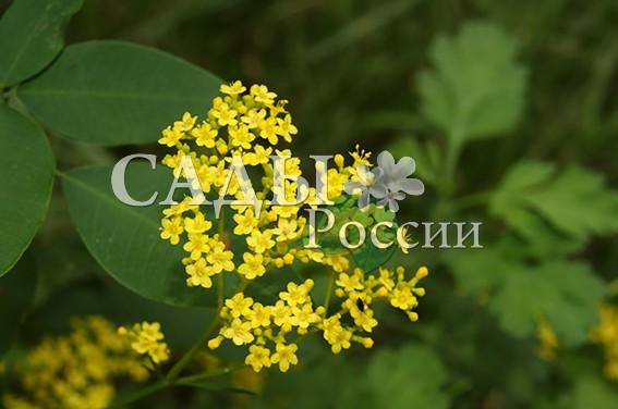 Патриния скабиозолистнаяПатриния<br>НОВИНКА!   <br> <br>Новинка в наших садах! Патриния, — её ещё иногда называют «жёлтая валерьяна».<br>