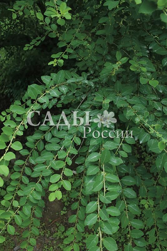 Секуринега кустарниковаяСекуринега<br>НОВИНКА!   <br><br><br> <br> <br> <br>Это редкое и малознакомое растение привлекательно в первую очередь своей необычной кроной,<br>ажурной и полупрозрачной.<br>