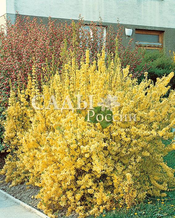 Форзиция Линвуд золотаяФорзиция<br>НОВИНКА!   <br><br>  <br><br> <br>Один из самых раноцветущих кустарников в наших садах.<br>