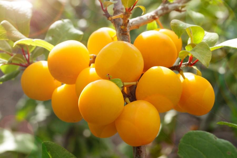 Слива ПодгорнаяСлива<br>НОВИНКА!   <br> <br>Этот сорт станет Вашей гордостью! Чудесные жёлтые небольшие плоды массой 10-15 г покрывают все ветви этой<br>сливы, словно маленькие солнышки.<br>