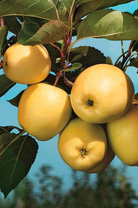 Яблоня ПапировкаЯблоня Летние сорта<br>Отличный летний<br>сорт народной селекции.<br>