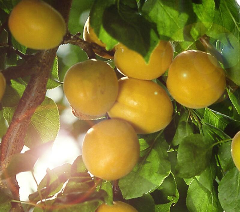 Абрикос Челябинский раннийАбрикос<br>Плоды средних размеров массой 10—12 г, жёлтые с лёгким<br>румянцем на освещённой солнцем стороне, мякоть плода<br>светло-жёлтая, кисло-сладкого хорошего вкуса.<br>