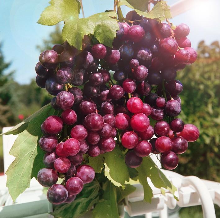 Виноград АлександрВиноград<br>Очень ранний сорт. Плотная гроздь с очень красивыми ягодами<br>редкого вишнёвого цвета, сахаристость 18%. Зимостойкость<br>высокая.<br>