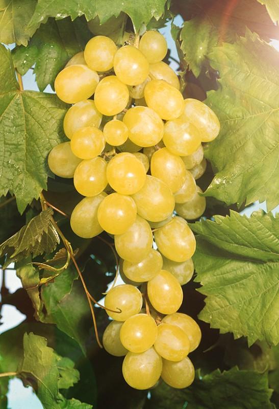 Виноград АлёшенькинВиноград<br>Очень ранний<br>сорт. Плоды созревают после 15—20 августа, ягоды янтарные,<br>отличного вкуса, с мускатным ароматом, сахаристость 19—21 %.<br>