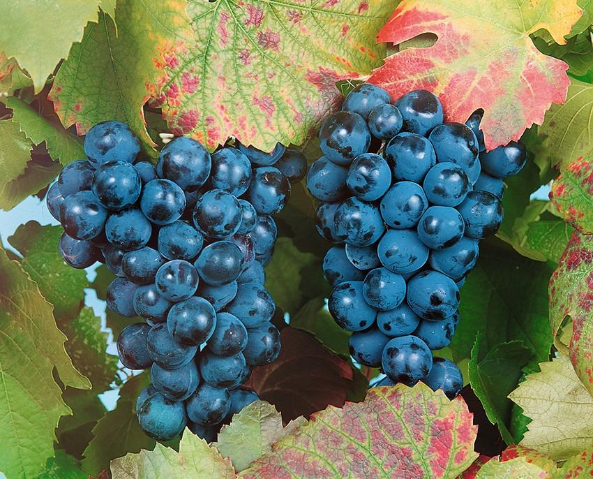 Виноград БашкирскийВиноград<br>Сорт<br>высокозимостойкий. Ягоды тёмно-синие с сильным восковым налётом, округлые, вкусные. Сорт среднего срока<br>созревания.<br>