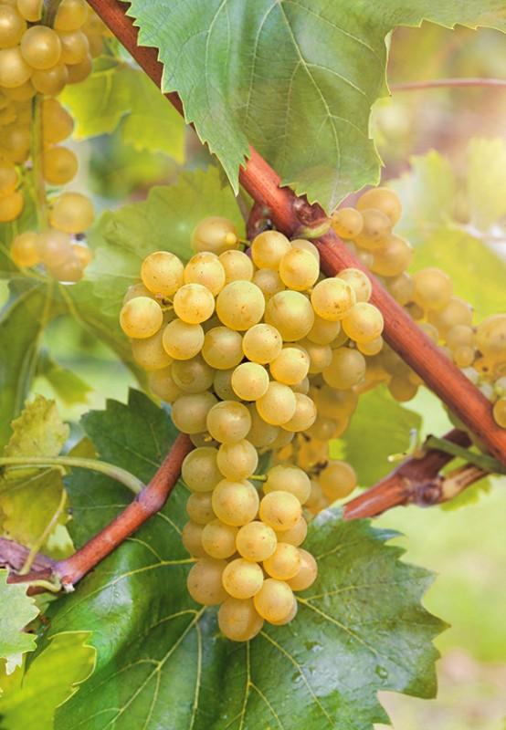 Виноград БианкаВиноград для домашнего виноделия<br>Настоящая находка для обладателей домашнего винного погребка. Живое<br>олицетворение игристых вин.<br>