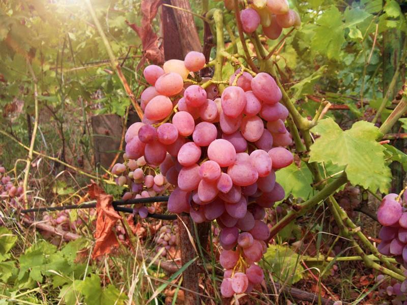Виноград Кишмиш лучистыйВиноград<br>Лучший из бессемянных сортов, бессменный лидер дегустаций.<br>Ягоды крупные, удлинённо-овальные, ярко-розовые, словно<br>светящиеся изнутри.<br>