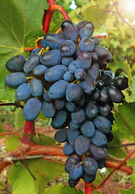 Виноград КодрянкаВиноград<br>Высокоурожайный сорт. Ягоды фиолетовые удлинённой формы, сочные, с плотной хрустящей кожицей. Кисти крупные, очень<br>декоративные. Дегустационная оценка сорта — 8,8 балла.<br>