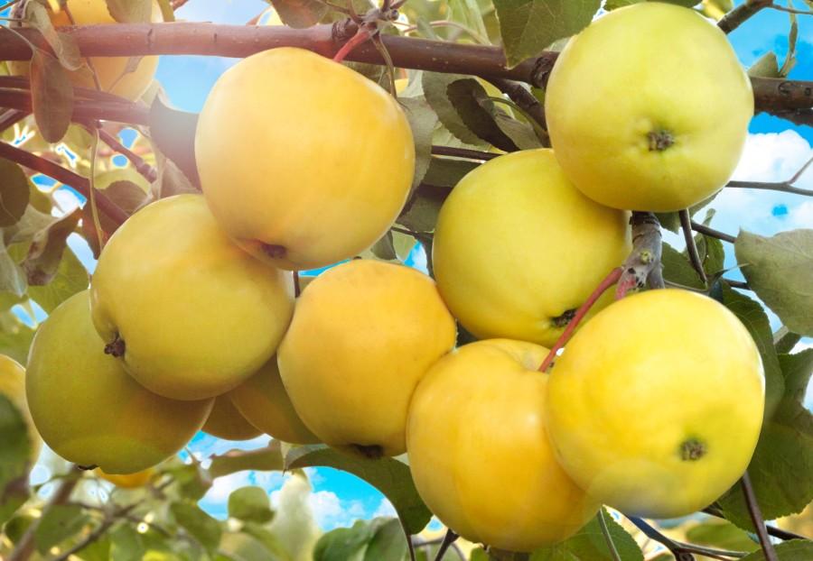 Яблоня ПапироянтарноеЯблоня Летние сорта<br>Настоящие наливные яблочки из старинных русских<br>сказок! Красивые — со светло-жёлтой янтарной, а иногда снежно-белой кожицей. Крупные — средней массой<br>100-120 г, а некоторые — до 200 г.<br>