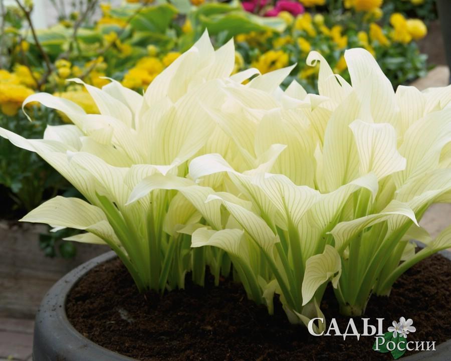 Хосты Белые перьяХосты<br>Оригинальный сорт  с поднятыми сливочно-белыми, «светящимися»  <br>узкими листьями.<br>