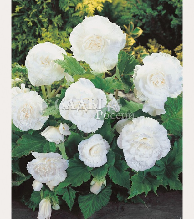 Бегония Крупноцветковая белаяБегония<br>Цветки <br>молочно-белые, камелиевидные, махровые.<br>