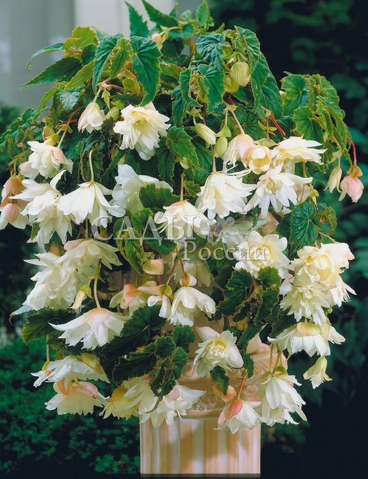 Бегония Ампельная белаяБегония<br>Воздушная лёгкость <br>белого прозрачного шифона лепестков крупных махровых <br>цветков, как дуновение ветра.<br>