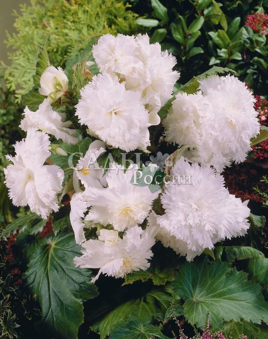 Бегония Бахромчатая белаяБегония<br>Белоснежные, <br>махровые цветки с едва уловимым кремовым оттенком в центре.<br>