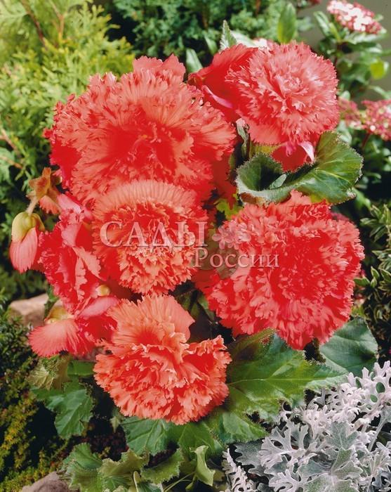 Бегония Бахромчатая лососеваяБегония<br>Потрясающая глубина и нежность тёплых лососево-розовых оттенков в роскошных, как пушистые «набивные» гвоздики, цветках.<br>
