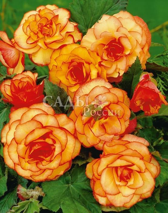 Бегония Двухцветная жёлто-краснаяБегония<br>Нарядные, светящиеся изнутри, розовидные, махровые цветки <br>создают атмосферу тепла и уюта.<br>