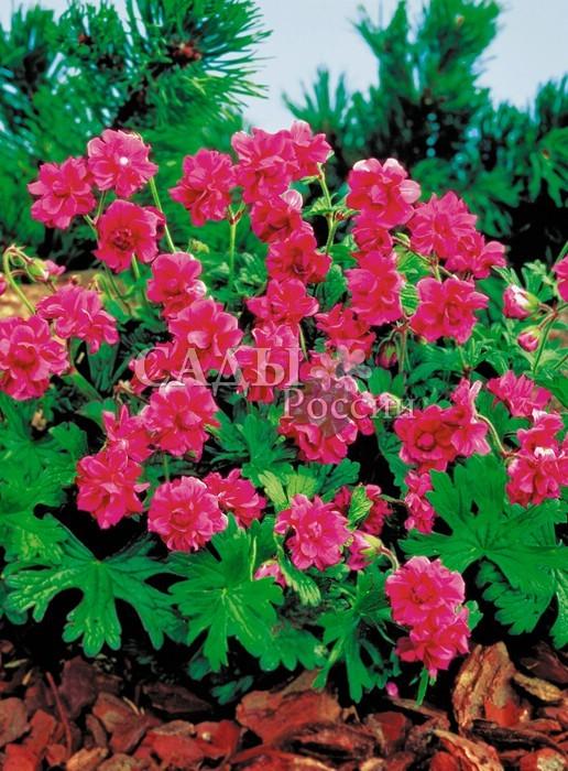 Герань ГималайскаяГерань<br>Сорт с махровыми, пурпурно-голубыми или пурпурно-розовыми цветками (в зависимости от почвы). Цветёт обильно всё лето.<br>