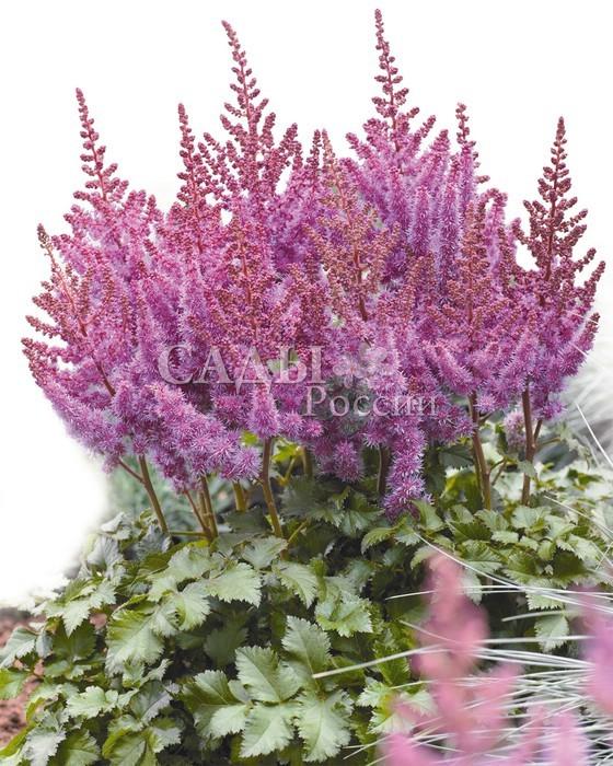 Астильба Фиолетовый дождьАстильба<br>Большие, <br>густые и пушистые  пурпурные соцветия, искрящиеся <br>брызгами нежно-сиреневых, лавандово-розовых и <br>аметистовых оттенков.<br>