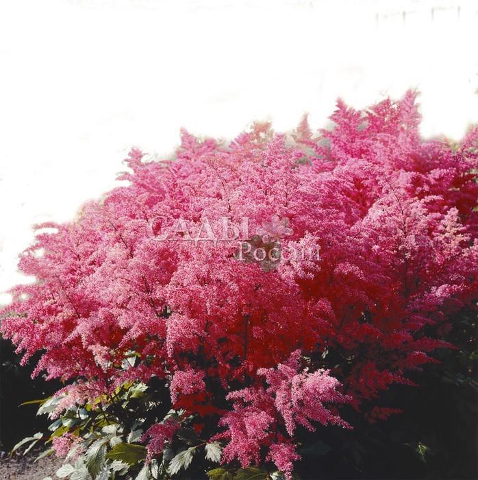 Астильба АфродитаАстильба<br>Богиня красоты, завораживает магической <br>силой яркого тёмно-розового цвета.<br>