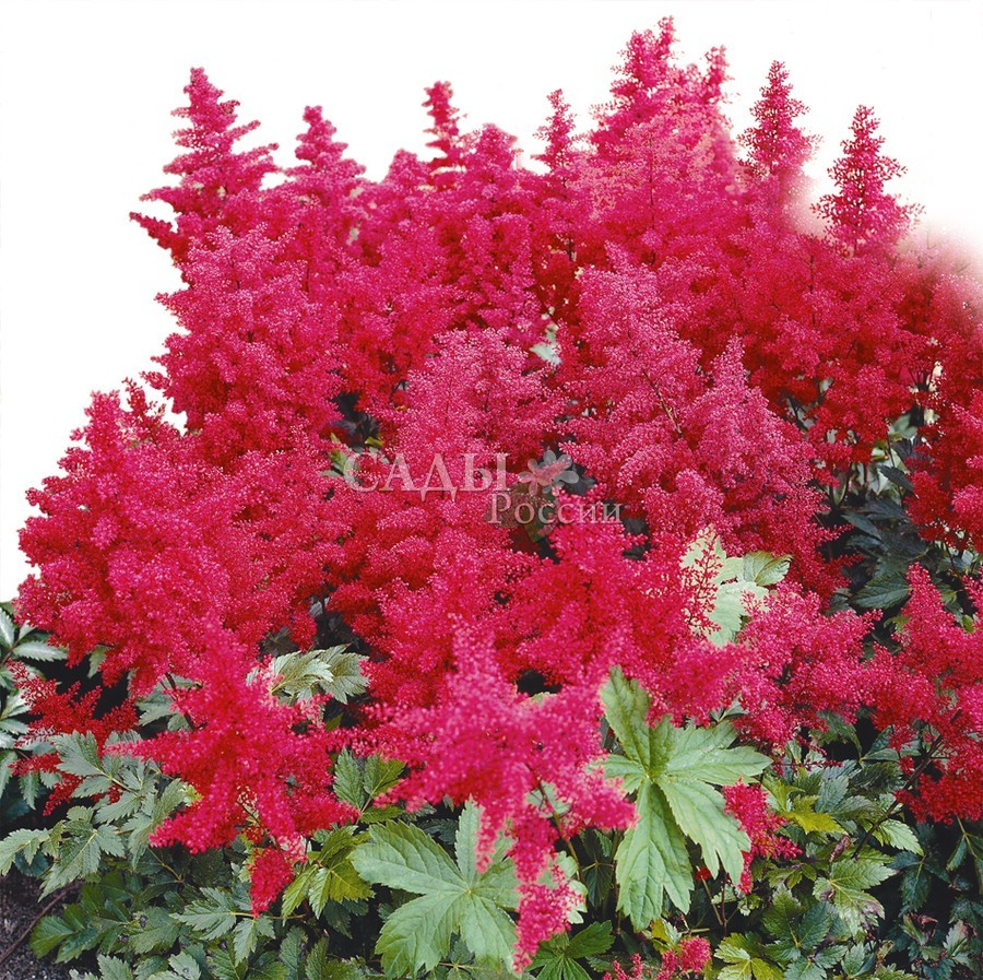 Астильба МонтгомериАстильба<br>Вызывающе яркая, красивая <br>и праздничная, с алым пламенем больших плотных соцветий.<br>