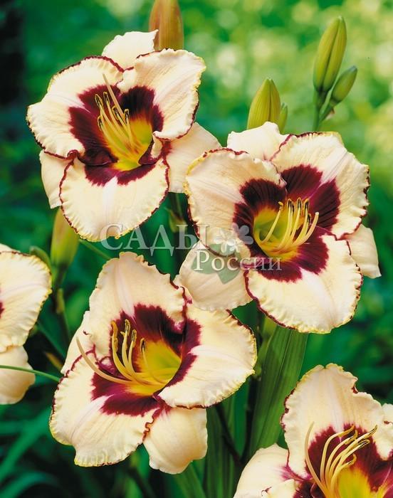 Лилейники КанадецЛилейники<br>Очень выразительный, <br>контрастный сорт. Цветки крупные, гофрированные, сливочно-кремовые, с ярким глазком цвета спелой вишни и тонкой каймой по <br>краю внутренних лепестков.<br>