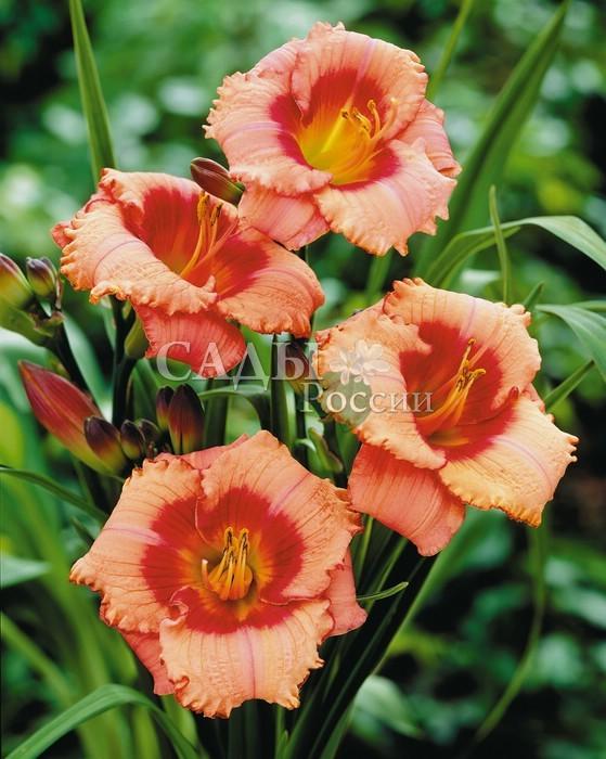 Лилейники Земляничная КарамельЛилейники<br>На <br>редкость привлекательный сорт с эффектными, землянично-розовыми цветками.<br>