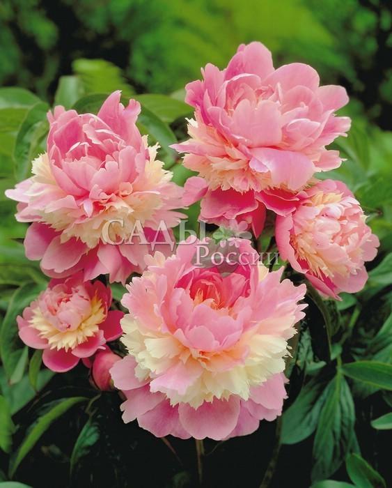 Пионы ЩербетПионы<br>Бесподобный по форме и окраске, <br>трёхслойный махровый цветок с нежно-розовыми <br>лепестками и махровой,  кремовой юбочкой посередине.<br>