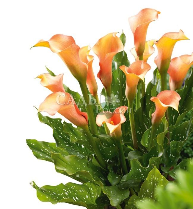 Каллы ХамелеонКаллы<br>Дитя природы, лучезарное, ласковое, открытое. Подстроится под любое настроение, всегда радует. Покрывало <br>солнечных персиковых, лососево-розовых и лёгких золотистых оттенков.<br>