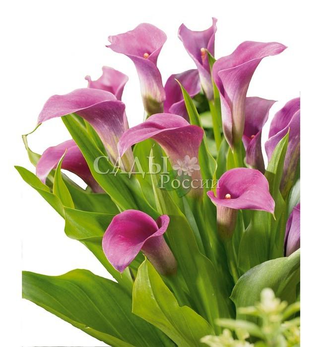 Каллы АметистКаллы<br>Фиалковая нежность покрывала <br>придаёт цветку совершенно незабываемый колорит утренней свежести.<br>