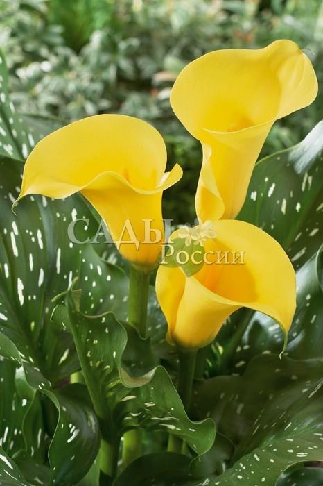 Каллы Жёлтый уголокКаллы<br>Жизнерадостные, <br>солнечно-жёлтые покрывала цветков на фоне сочно-зелёных в светло-жёлтый крап листьев.<br>