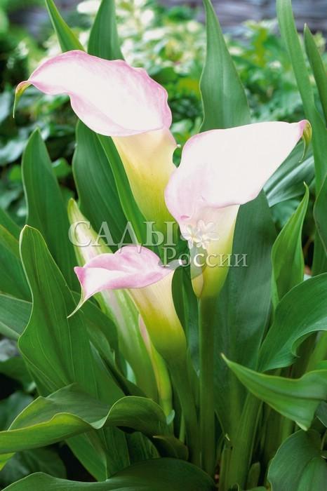 Каллы Хрустальный бликКаллы<br>Искрящиеся <br>белизной покрывала, изнутри светятся нежными, хрустально-розовыми бликами, постепенно окаймляющими его края.<br>