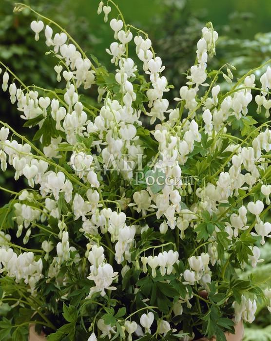 Дицентра Великолепная белаяДицентра<br>С сильными стеблями, до 60 см высотой, красивыми, перисто-рассечёнными, зелёными с <br>сизым оттенком листьями.<br>