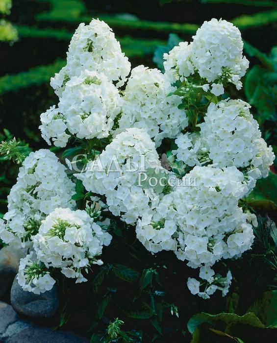 Флоксы Белый адмиралФлоксы метельчатые<br>Высокий до 100 см, <br>благоухающий красавец среднего срока цветения, с пышными, <br>молочно-белыми соцветиями.<br>