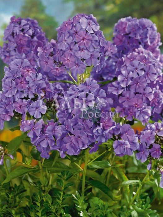 Флоксы НебоскрёбФлоксы метельчатые<br>Отражающий лучи пурпурного <br>заката. Цветки крупные пурпурно-фиолетовые с лёгкими лилово-розовыми и лавандовыми оттенками. Соцветия плотные, большие.<br>